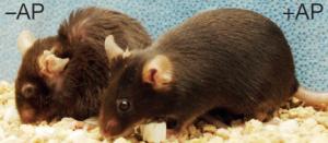 Image: souris âgées de 22 mois. A droite : sans cellules sénescentes. A gauche : avec cellules sénescentes.